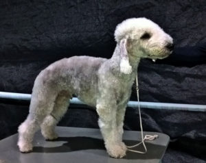 Bedlington Terrier dog Yarmilan Wheeler Dealer