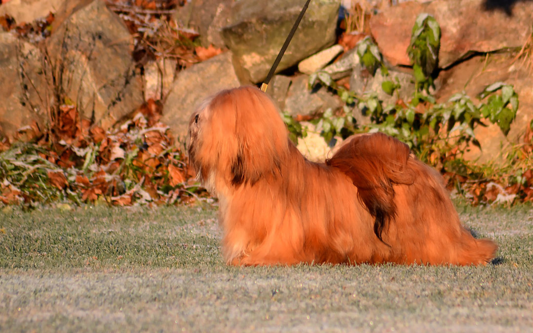How to grow and maintain a beautiful show coat of a Lhasa Apso or Tibetan Terrier part 1: Basics
