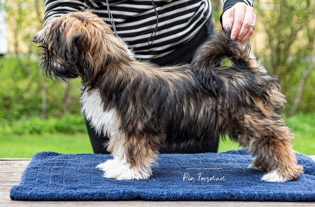Louis the Lhasa apso is looking for show home